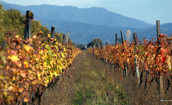 Weinbau in Georgien. Foto: National Wine Agency Georgia
