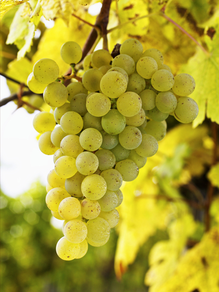 Gruener Veltliner: Foto: superfood - stock.adobe.com