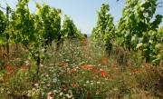 Weingut Galler, ein Bio-Weingut in Kirchheim an der Weinstraße. Mit über 50% PIWI-Sorten ist Bio dort viel mehr als ein Wort. Im Bild: Blühender Weinberg im Frühjahr. Foto: Andreas Durst