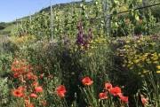 Querterrassen-Weinbau – Forschungsprojekt der Hochschule Geisenheim University im Steillagen-Weinbau: Wie zu sehen hohe Biodiversität an den Böschungen, weniger Arbeit; Weingut Paul Laquai. Foto: Gilbert Laquai