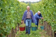 Obwohl die Lese teilweise noch im Gange ist, sind die Prognosen für den Weinjahrgang jetzt schon überschwänglich.