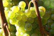 Riesling - eine der wichtigsten Weißweintrauben