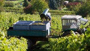 Weinlese 2020 abgeschlossen: Winzer sehr zufrieden, sehr guter Jahrgang Menge 8,6 Mio. hl – leicht unter Durchschnitt