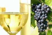 Weißer Wein aus blauen Trauben?