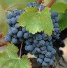 Die Baga-Trauben sind klein und dunkel, haben dicke Schalen und einen hohen Gerbstoff-Anteil.
