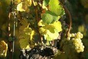 Zählen zu den besten der Welt: Deutsche Weißweine