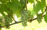 Gehört zu den Freiburger Neuzüchtungen pilzwiderstandsfähiger Weintrauben, so genannte PiWis: Muscaris.