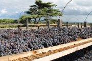 Im Castelserranova des Weinguts Vallone werden die Trauben für den Vorzeige-Negroamaro Gratticciaia auf dem Dach getrocknet.