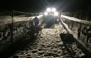 Eisweinlese im Weingut Lustig, im Weinviertel, am 2.12.2017 ab 4 Uhr in der Frühe bei Traktorlicht.