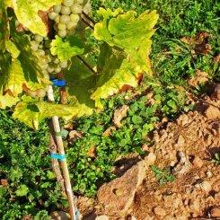 Naturnaher Weinbau – Rebsorte Riesling