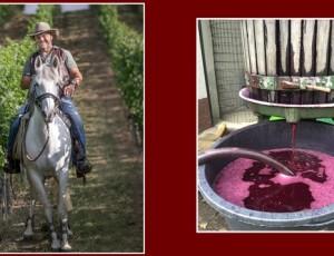 Alois Metz in seinem Weinberg mit seinem Pferd - rechts die kleine alte handbetriebene Trotte, die Metz zum Keltern verwendet.
