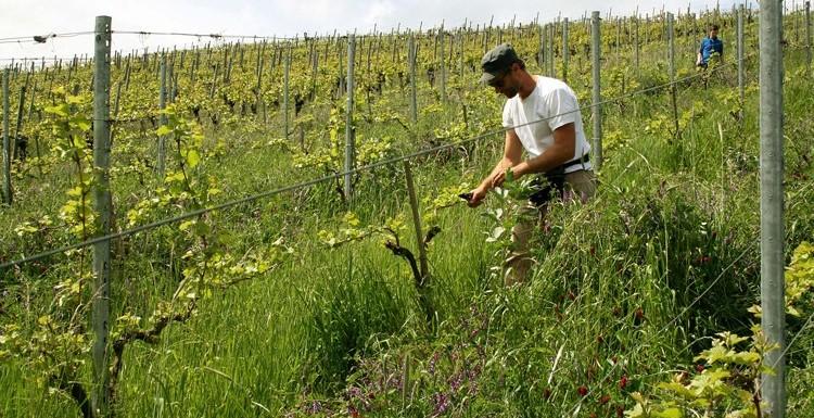 Weingut im Hagenbüchle, Achim Stilz, in Schnait/Württemberg, ein PIWI Pionier – 2008 gepflanzten Pinotin noch nie gespritzt