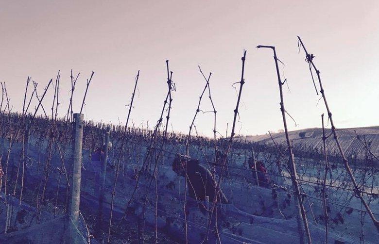 Eisweinlese im Morgengrauen bei eisiger Kälte im Weingut Jürgen Ellwanger, Winterbach