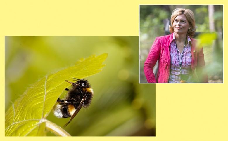Bundesministerin Julia Klöckner fördert biologischen Pflanzenschutz. Zwei neue Projekte werden mit 1,6 Mio Euro gefördert - eines davon Kampf gegen Kirschessigfliege. Oben: die Bundesministerin Julia Klöckner. Unten: Hummel auf Rebblatt