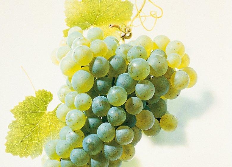 Aus der Scheurebe erzeugen immer mehr Winzer trockene Weine.