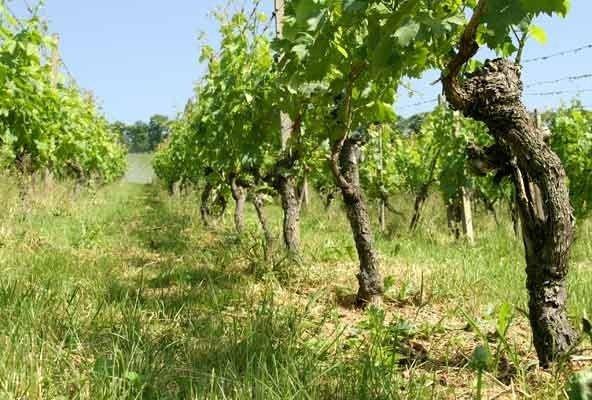 Alte Reben – edler Wein. Was ist dran?
