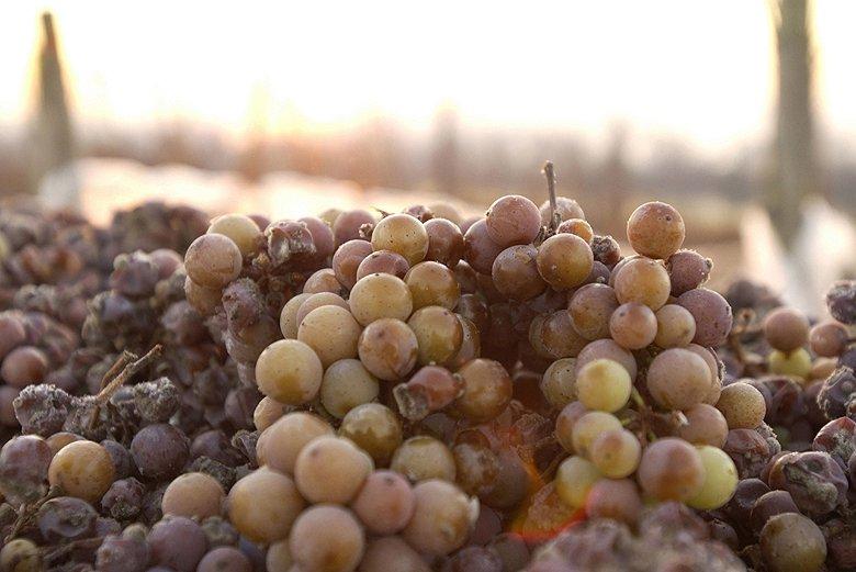 Winzer in mehreren deutschen Anbaugebieten konnten Eiswein lesen. Die Erntemenge ist gering, die Oechsle-Grade erreichten teilweise aber Rekordwerte.