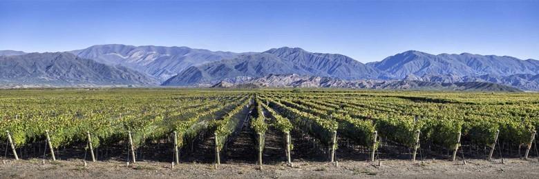 Weinreben in Argentinien. Foto: www.winesofargentina.org