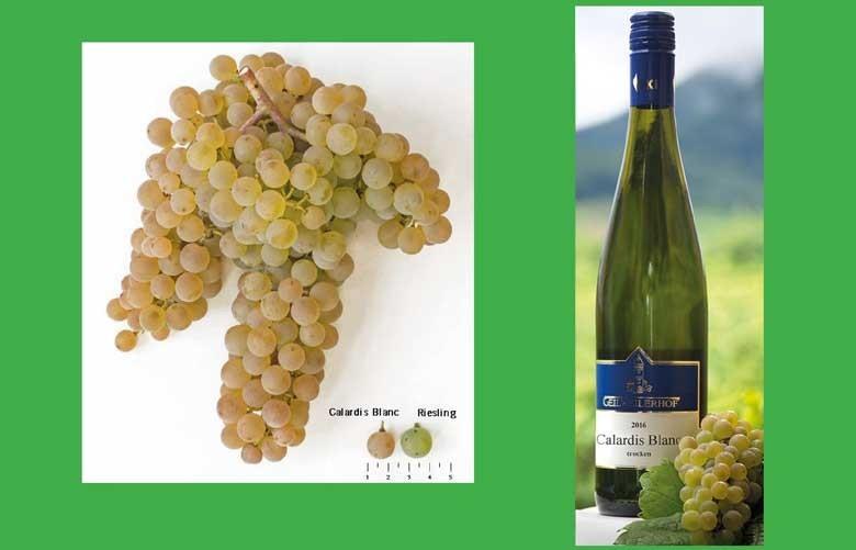 Calardis Blanc erhält Ritterschlag als neue Weißweinrebe - Julius Kühn-Institut gelingt pilzwiderstandsfähige Neuzüchtung – fruchtig-lebendige Weißweine