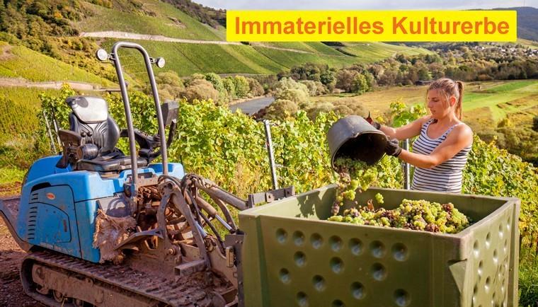 Weinlese in Wiltingen an der Saar. Foto: Ralf Kaiser / Moselwein e.V.